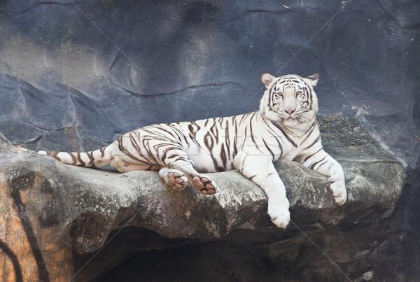 белый тигр рок зоопарке кошки темно Сток-фото © pinkblue