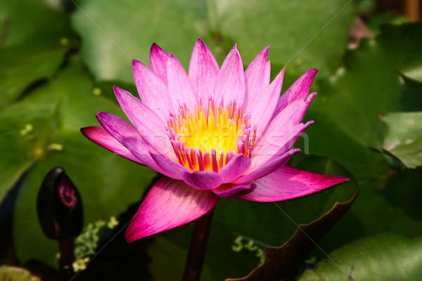 Paars lotus bloem natuur zomer Stockfoto © pinkblue