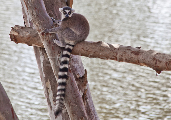Ring-tailed lemur Stock photo © pinkblue