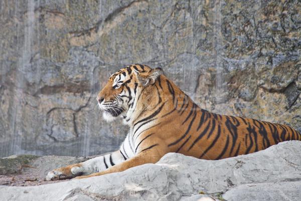 Tigris pihen állatkert test narancs fej Stock fotó © pinkblue