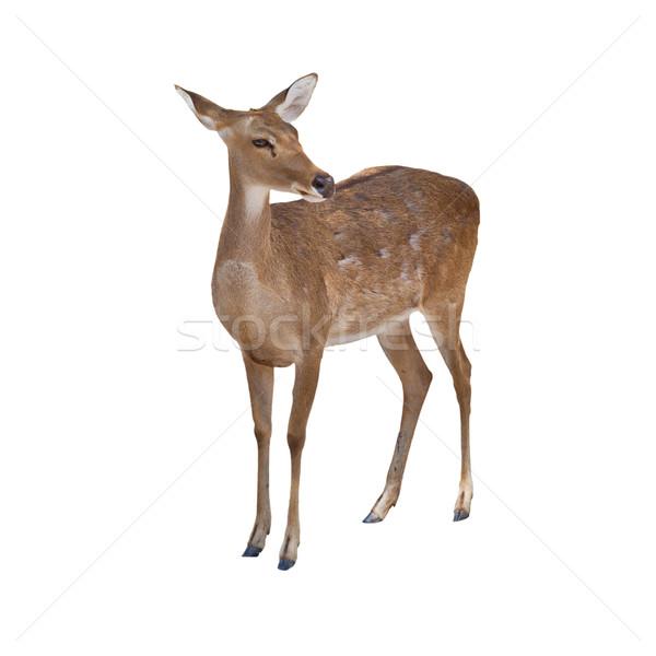 Herten geïsoleerd witte oog natuur veld Stockfoto © pinkblue