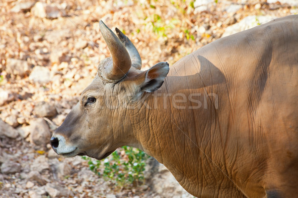 Close up Banteng or Red Bull Stock photo © pinkblue