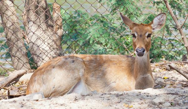 Stock photo: Eld's Deer