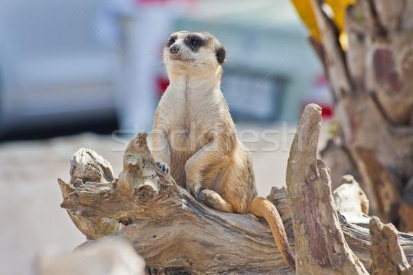 Meerkat Stock photo © pinkblue