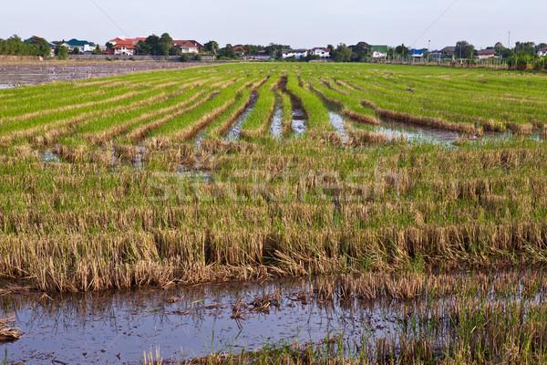 Rizsföld Thaiföld természet mező zöld farm Stock fotó © pinkblue