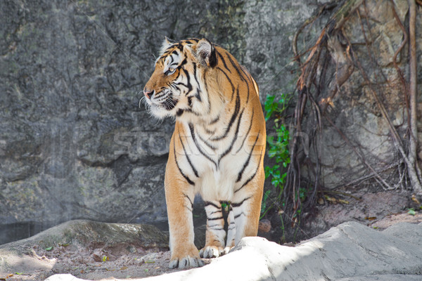 Close up Siberian Tiger in a zoo  Stock photo © pinkblue