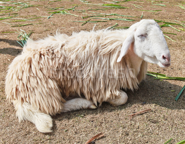 Somnolent moutons ferme herbe fond dormir Photo stock © pinkblue