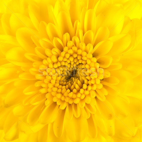 Amarillo crisantemo aislado blanco amor naturaleza Foto stock © pinkblue