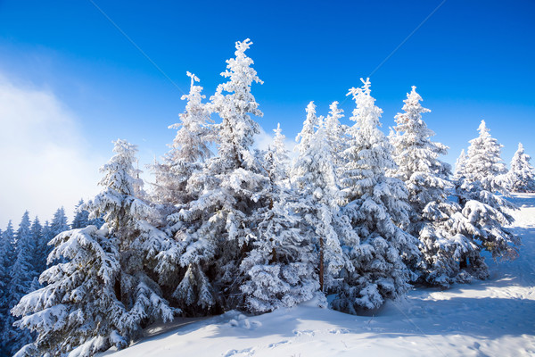 Pino árboles cubierto nieve temporada de invierno árbol Foto stock © pixachi