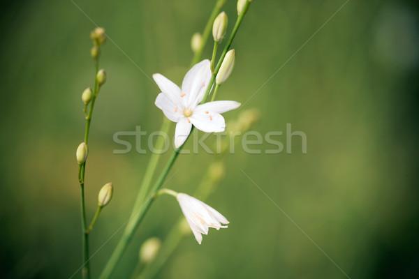Flor silvestre verde pradera flor primavera belleza Foto stock © pixachi