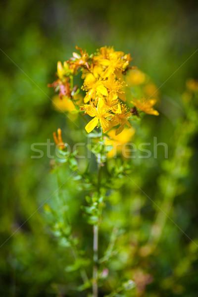 Green grashopper on yellow St Johns flowers Stock photo © pixachi