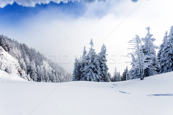 Pine forest covered in snow Stock photo © pixachi