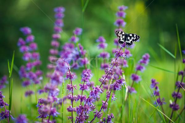 Mariposa violeta flor silvestre flor primavera belleza Foto stock © pixachi