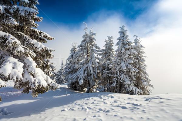 соснового лес покрытый снега зимний сезон дерево Сток-фото © pixachi
