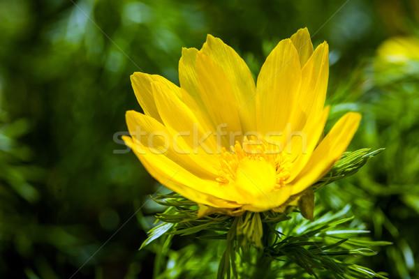 Beautiful spring yellow flowers  Pheasant's eye  Stock photo © pixachi