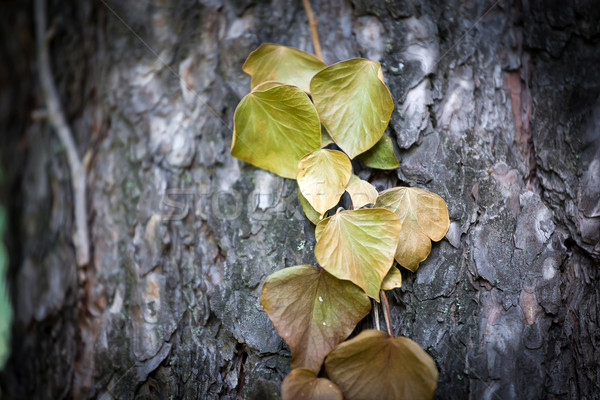 Ivy leaves on tree trunk  Stock photo © pixachi
