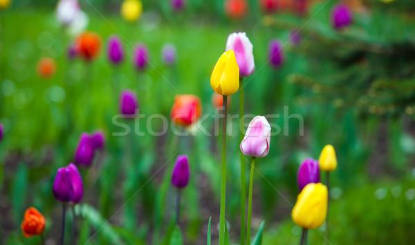 Farbenreich Tulpen Park Frühling Freien Landschaft Stock foto © pixachi