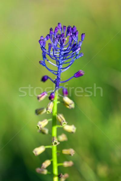 Wild lentebloemen bloemen gras landschap Stockfoto © pixachi