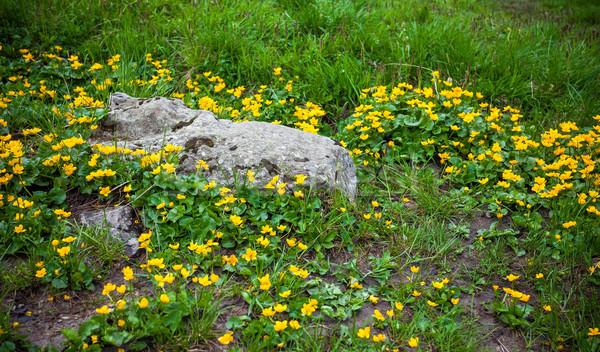 Wild flowers on rock in Fagaras mountain Stock photo © pixachi