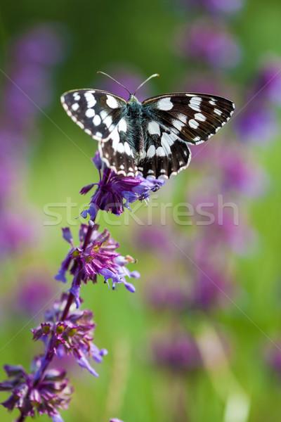 Butterfly (Tirumala hamata orientalis) on a violet wild flower Stock photo © pixachi