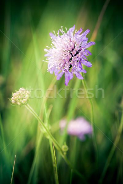 василек зеленый луговой природы фон лет Сток-фото © pixachi
