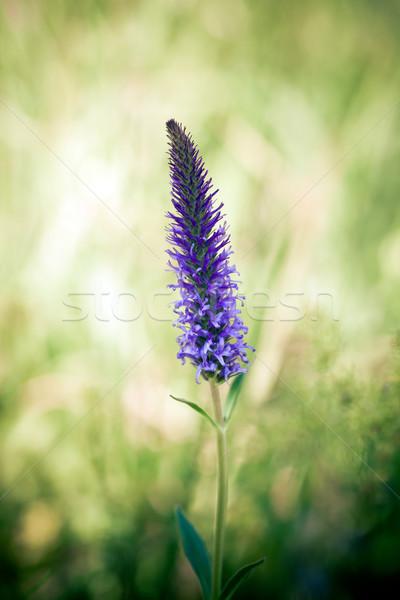 Kır çiçeği yeşil çayır çiçek bahar güzellik Stok fotoğraf © pixachi