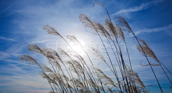 Coucher du soleil usine silhouette ciel bleu ciel eau Photo stock © pixachi