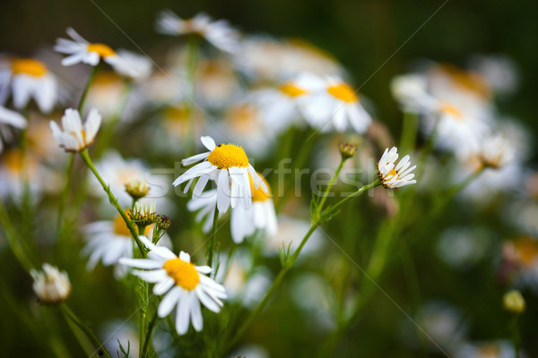 Field of daisies on meadow at spring time Stock photo © pixachi