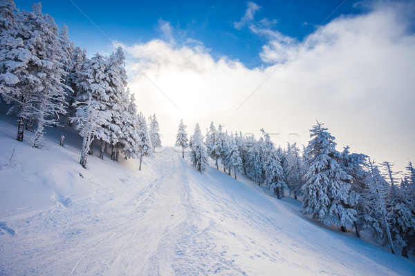 Ski forest path with pine trees covered in snow Stock photo © pixachi