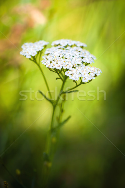 Achillea millefolium (yarrow) white wild flower Stock photo © pixachi