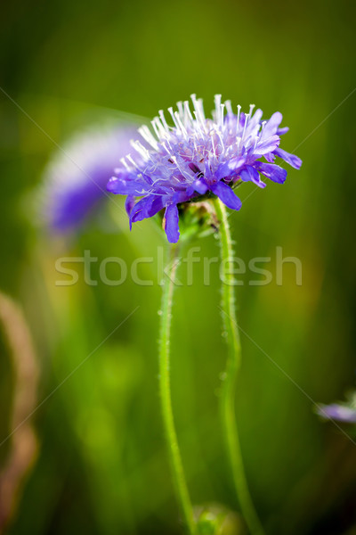 Cornflower on green meadow background Stock photo © pixachi