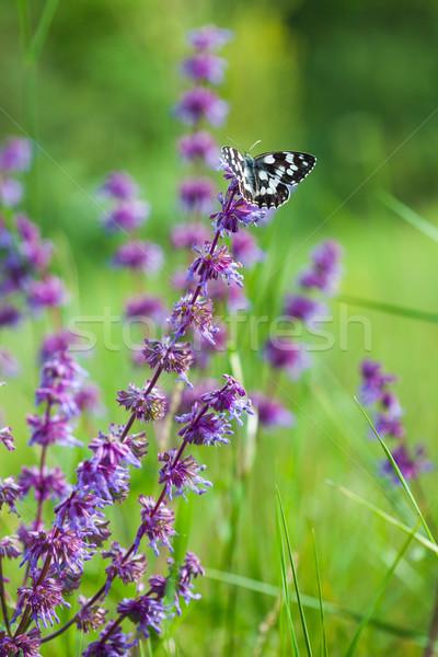 Motyl fioletowy dziki kwiat kwiat wiosną piękna Zdjęcia stock © pixachi