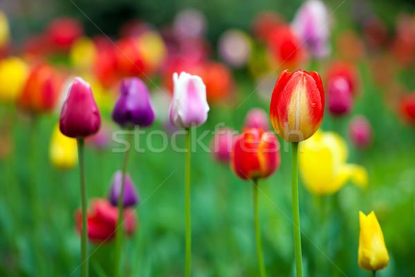 свежие красочный тюльпаны парка весны пейзаж Сток-фото © pixachi