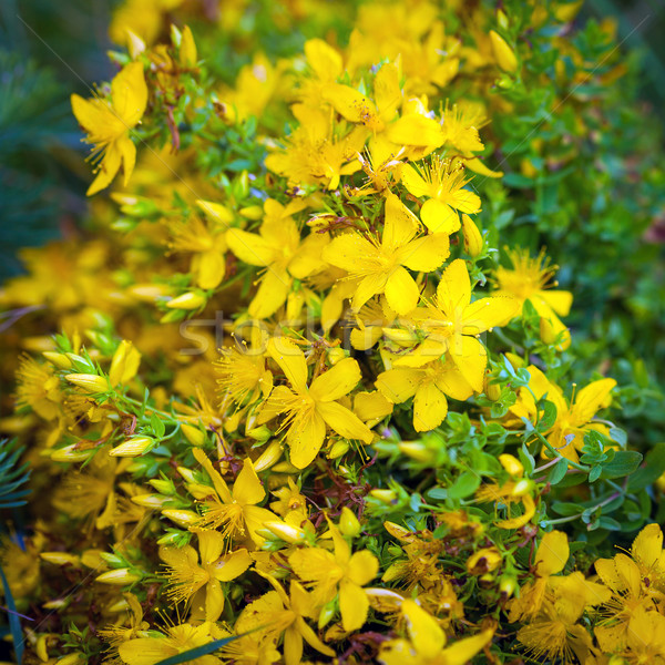 Grünen gelb Blumen Sommer Medizin Insekt Stock foto © pixachi