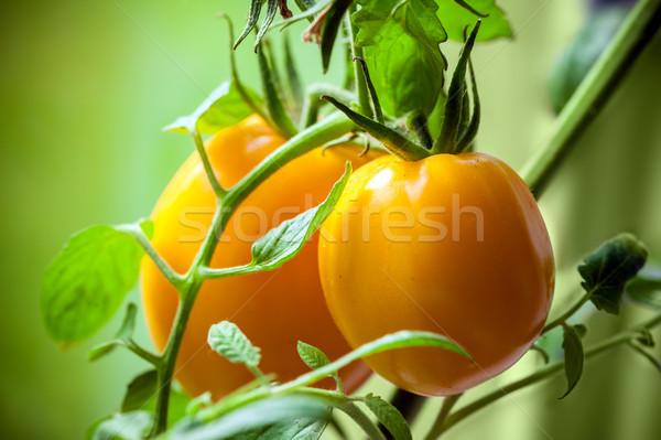 Vegetable garden with plants of yellow tomatoes Stock photo © pixachi