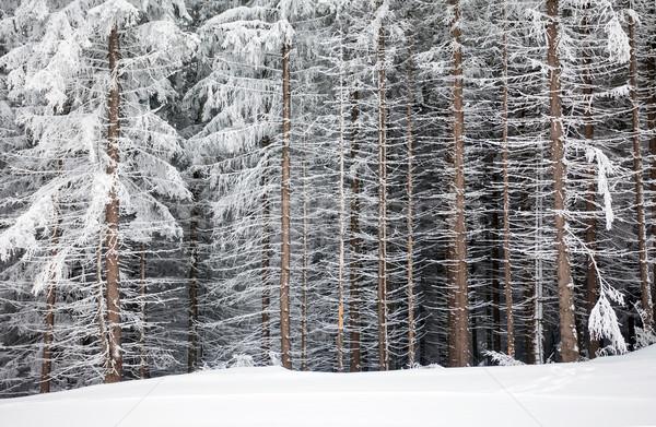 Pijnboom gedekt sneeuw winter rand Stockfoto © pixachi