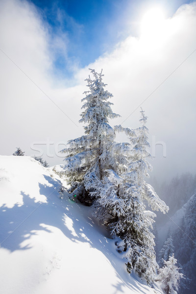 Stockfoto: Pine · bomen · gedekt · sneeuw · winterseizoen · boom