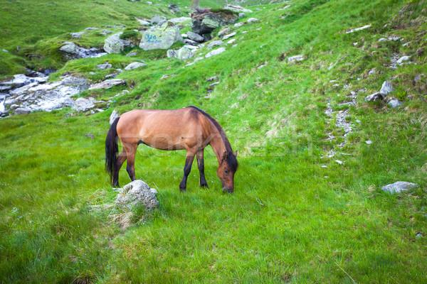 Wild brown horse feeding on Fagaras mountain, Romania Stock photo © pixachi