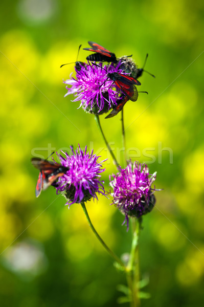 Red butterfly on pinlk Thistle (Carduus Defloratus) on green mea Stock photo © pixachi