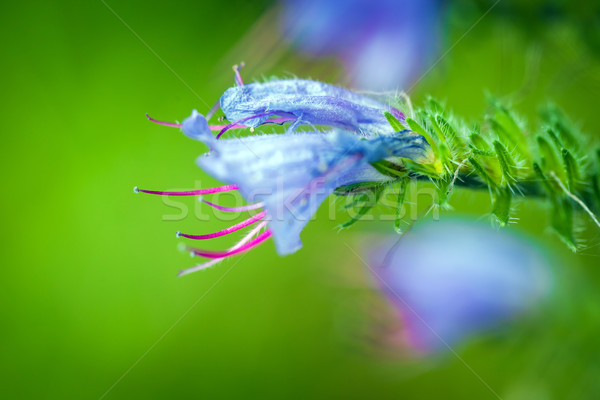 Sauvage violette fleur vert prairie printemps Photo stock © pixachi