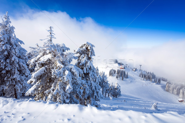 Pine forest and ski slopes covered in snow on winter season  Stock photo © pixachi