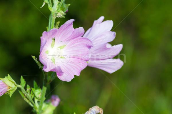 розовый цветы зеленый луговой природы Сток-фото © pixachi