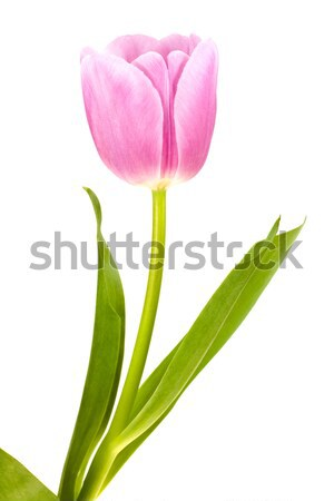 Pink & white tulip isolated with drop water clipping path. Stock photo © pixelman