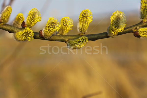 Branches of blooming yellow catkins in close-up on a blurred background. Stock photo © pixelman