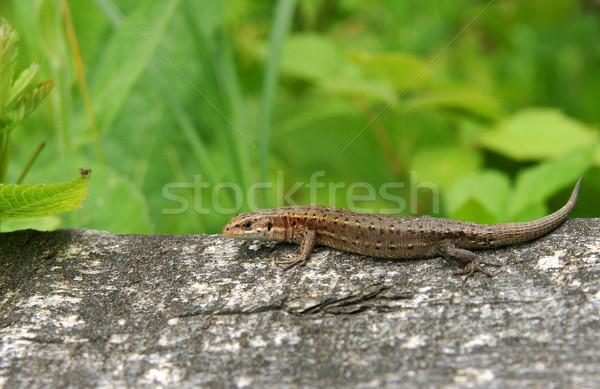 Sable lézard naturelles environnement Photo stock © pixelman