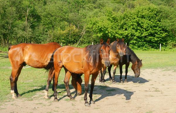 Horses Stock photo © pixelman