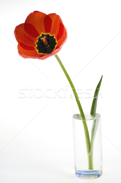 Red tulips in flower pot isolated Stock photo © pixelman