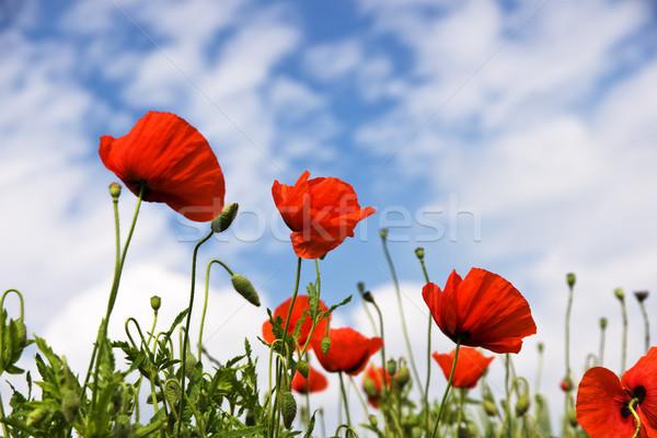 Rojo amapolas florecer soleado primavera pradera Foto stock © pixelman