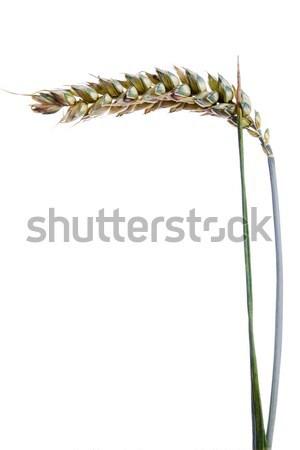 Maduro orelhas trigo branco comida outono Foto stock © pixelman