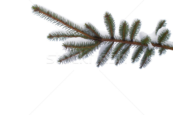 Snowy spruce twig  in winter isolated Stock photo © pixelman